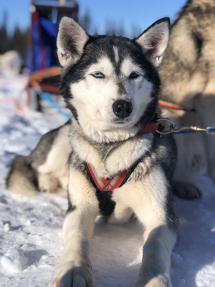 Husky à Kiruna