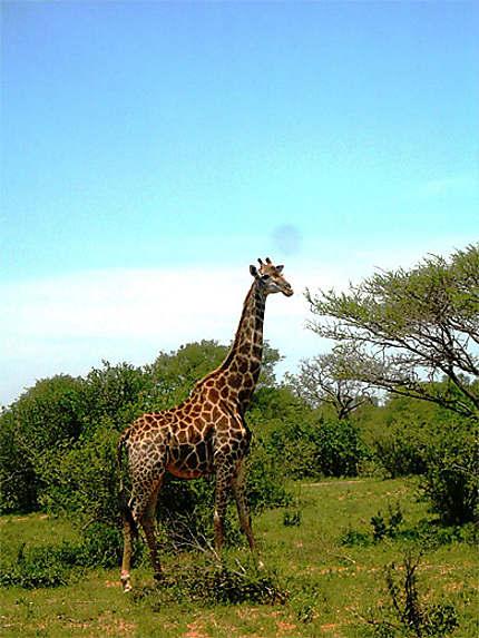Girafe dans le Kruger