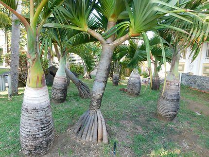 Palmiers bouteille à Mahébourg