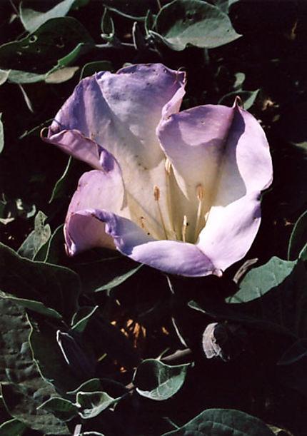 Flore des Channel Islands