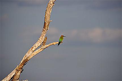 Le guêpier arc-en-ciel (Merops ornatus)