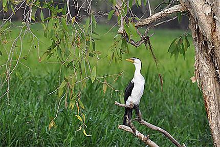 Anhinga australien
