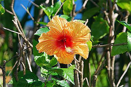 Hibiscus des Marquises
