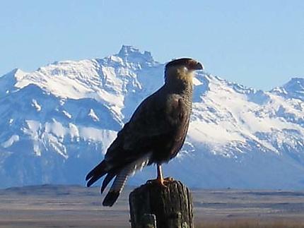 Aigle en Patagonie