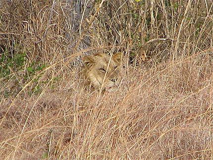 Un lion bien caché