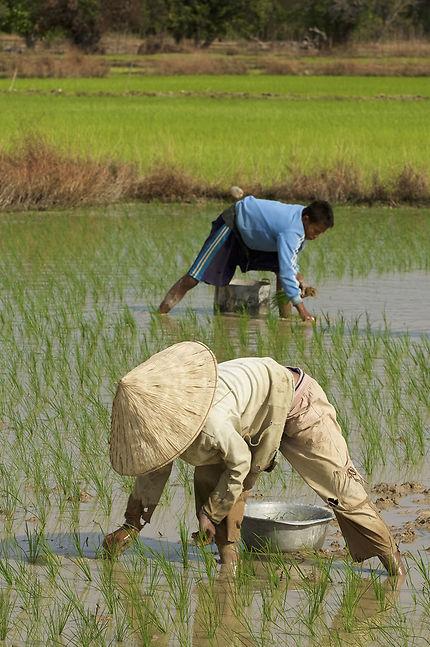 Repiquage dans la rizière sur l'ile de Don Khong