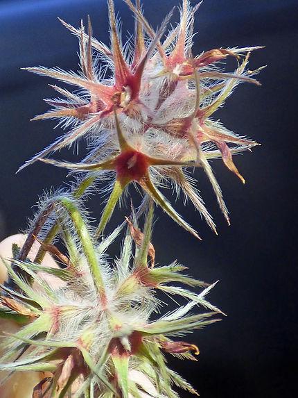 Trifolium stellatum (trèfle étoilé)