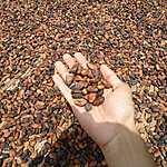 Noyaux de Cacao