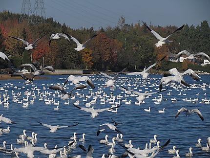 Oies blanches à St-Donat