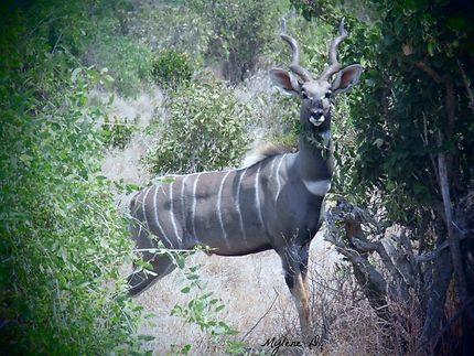 Koudou au Kenya