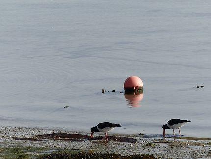 Île de Batz où l'on voit beaucoup d'oiseaux