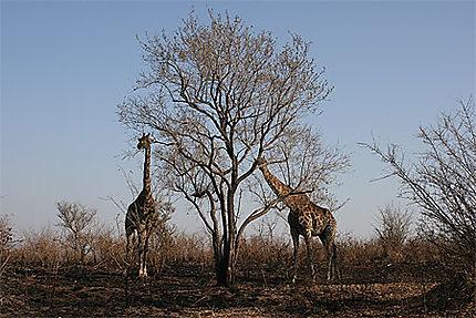 Deux girafes durant le repas