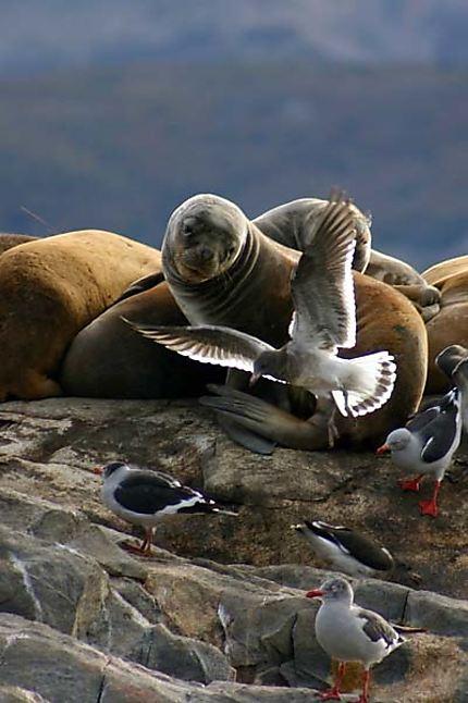 Le phoque et la mouette - Ushuaia