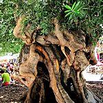 Célèbre olivier millénaire