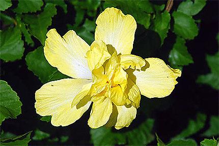 Fleurs des Marquises