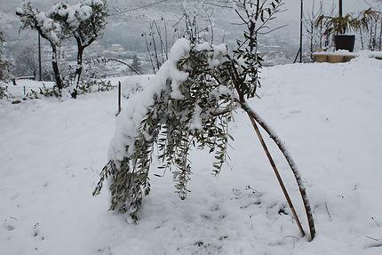Olivier sous la neige aux Vans en Ardèche