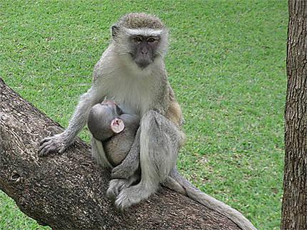 Maman & Bébé Singe