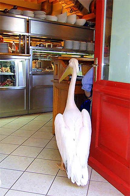Le pélican Petros à la taverne Nikos