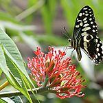 Papillon de Côte d'Ivoire