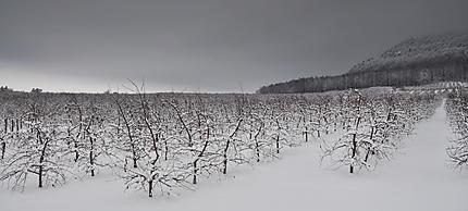 Pommiers en hiver