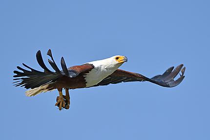 Aigle vocifère