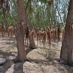 Séchage des ourites, Pointe Coton