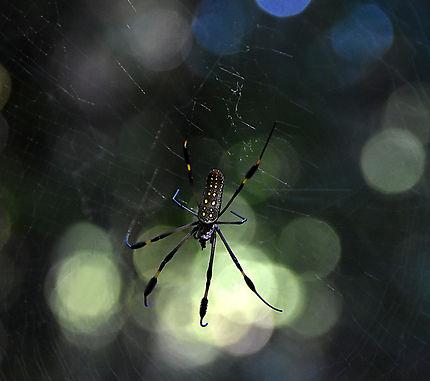 Araignée tropicale