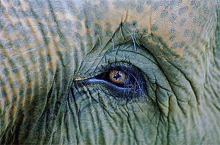 Dans l' Oeil du Pachyderme