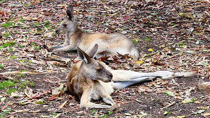Kangourous - Botanic Garden de Rockhampton