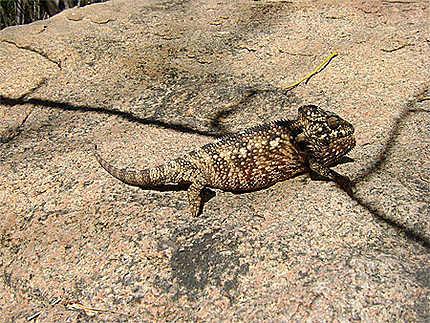Caméléon de Madagascar
