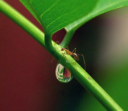 La fourmi d'Inde, macro
