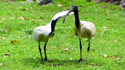 Ibis - Botanic Garden de Rockhampton