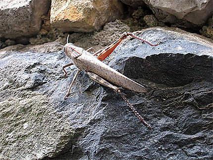 Jimminy Cricket