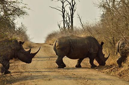 Route bloquée par les rhinocéros !