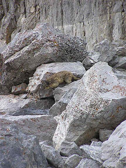 Marmotte de la brèche