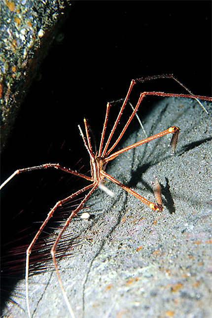 Crabe ou araignée ?