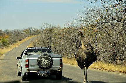 Une autruche curieuse sur la route !