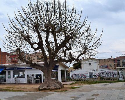Majestueux arbre de Santa Susanna