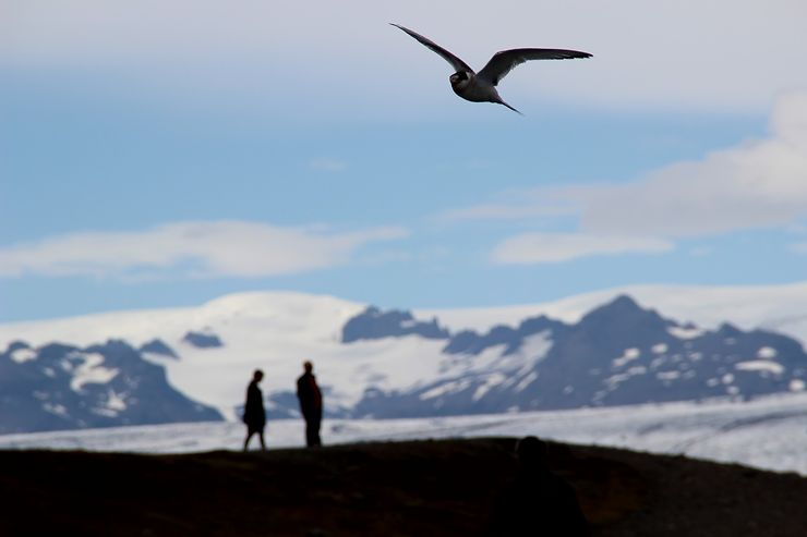 Sterne arctique au Jökulsarlon, Islande, par voyageuse444
