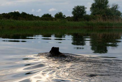 Hippopotame du Danube ?