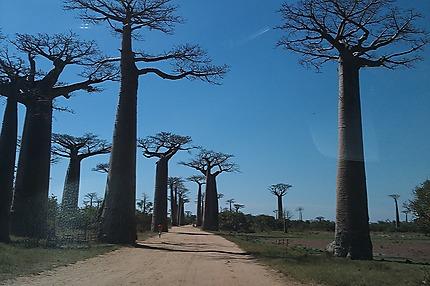 """La fameuse """"Allée de Baobabs"""""""