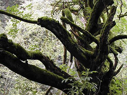 Nature luxuriante à Muir Woods, san francisco