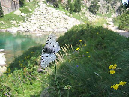 Fleur-papillon dans le Val d'Aran