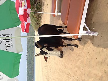 Ici il y a des vaches partout !