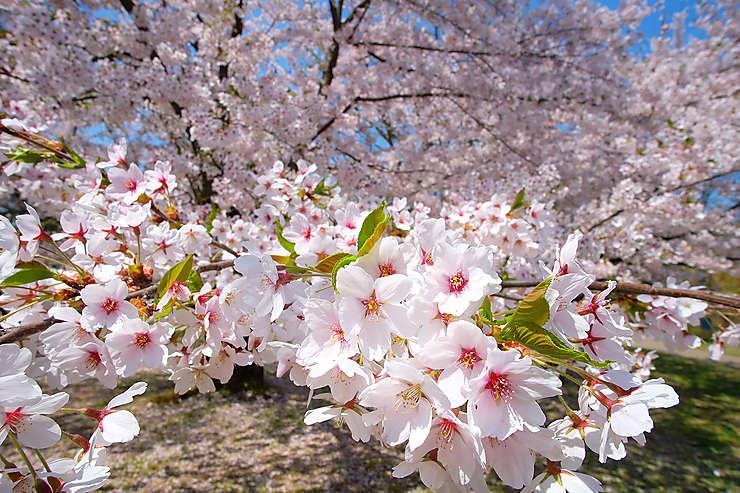 10 f tes ne pas manquer - Greffe du cerisier au printemps ...