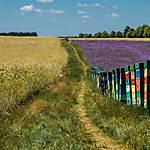 Phacelia - un paradis pour les abeilles