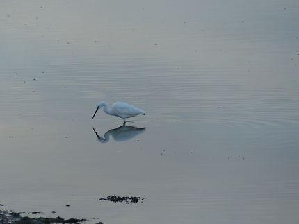 L'oiseau et son reflet à Saint-Cado, Morbihan
