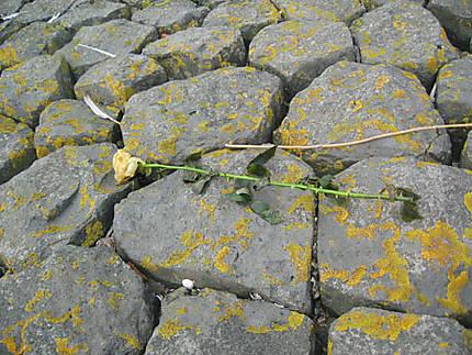 Rose abandonnée sur la jetée