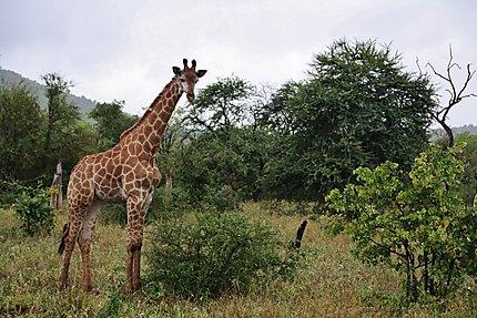 Petit Girafon
