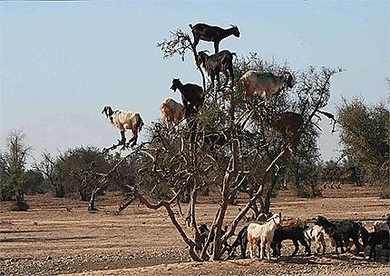 L'arbre à chèvres